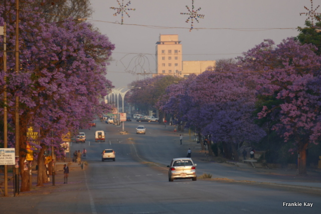 Jacaranda Trees in Bulawayo